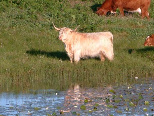 Highland cow reflected in a pool of water lillies