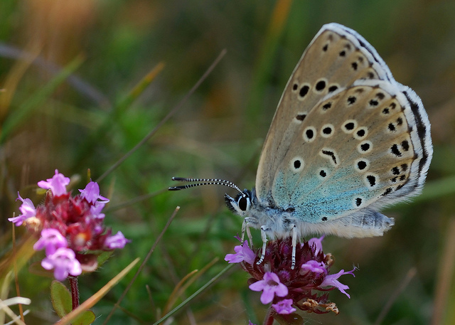 Large Blue butterfly feeding on wild thyme